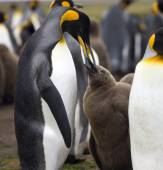 King Penguin feeding chick - Falkland Islands — Stock Photo