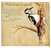 Hand painted illustration (vector), Bird: Woodpecker — Stock Vector