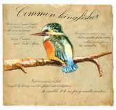 Hand painted illustration (vector), Bird: Kingfisher — Stock Vector