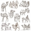 Camels - An hand drawn pack. Originals — Stock Photo #70794405