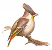 An hand painted illustration on white - Bird, Boheian waxwing — Stock Photo