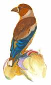 An hand painted illustration on white - Bird, Hawfinch — Stock Photo
