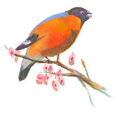 An hand painted illustration on white - Bird, Eurasian bullfinch — Stock Photo