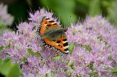 Small tortoiseshell butterfly — Stock Photo