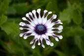 Osteospermum sunny philip flower — Stock Photo