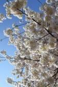 Черри цветет весной в Вашингтоне, округ Колумбия — Стоковое фото