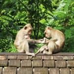 Maymun sürüsü eski kiremitli çatıya — Stok fotoğraf #77690002