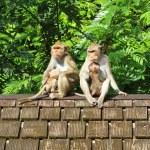 Maymun sürüsü eski kiremitli çatıya — Stok fotoğraf #77690038