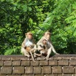 Maymun sürüsü eski kiremitli çatıya — Stok fotoğraf #77690084