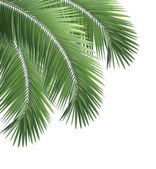 Green palm leaves isolated on white background — Stock Photo