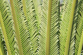 Young cycas leaves — Stock Photo