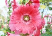 Pink hollyhock flower — Stock Photo