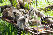 Lemur in open public zoo — Stock Photo