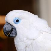 White macaw with blue eyes — Stock Photo