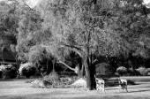 Big tree in public yard on morning — Stockfoto