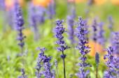 ラベンダーや他の花のフィールド — ストック写真