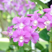 Orchidea viola nel giardino. — Foto Stock