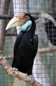 Great Hornbill bird — Stock Photo