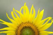 Part of bright sunflower — Stock Photo