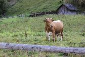 Mucca nel villaggio — Foto Stock