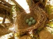 Blackbird Eggs — Stock Photo