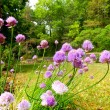 Chive Flowers — Stock Photo #74465785