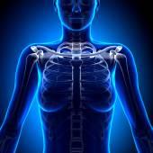 Female Clavicle Bone Anatomy - Anatomy Bones — Stock Photo