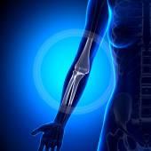 Ženské koleno - anatomie kostí — Stock fotografie
