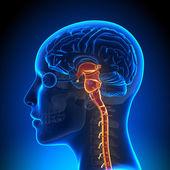 женский ствол мозга с нервами - мозг анатомии — Стоковое фото