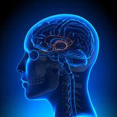 Female Limbic System - Anatomy Brain — Stockfoto