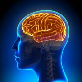 Female Anatomy Brain Full — Stock Photo