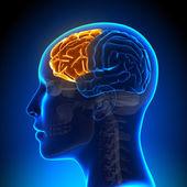 Female Frontal Lobe - Anatomy Brain — Stock Photo