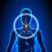 Larynx - Female Organs - Human Anatomy — Stock Photo