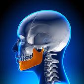 Female Mandible - Jaw Anatomy — Stock Photo