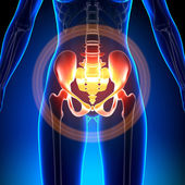Female Hip, Sacrum, Pubis, Ischium, Ilium - Anatomy Bones — Stock Photo