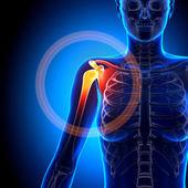 Female Shoulder, Scapula, Clavicle - Anatomy Bones — Stock Photo