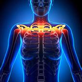 Clavicle Bone Anatomy - Anatomy Bones — Stock Photo