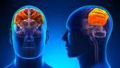 Male Parietal Lobe Brain Anatomy - blue concept — Stock Photo