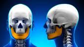Male Mandible Bone Skull Anatomy - blue concept — Stock Photo