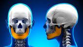 Female Mandible Bone Skull Anatomy - blue concept — Stock Photo
