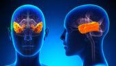 Female Temporal Lobe Brain Anatomy - blue concept — Stock Photo