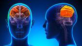 Female Parietal Lobe Brain Anatomy - blue concept — Stock Photo