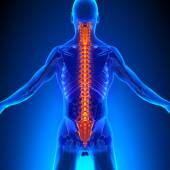 Spine Anatomy with Ciculatory System — Stock Photo