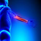Radius Ulna Bones Anatomy with Circulatory System — Stock Photo