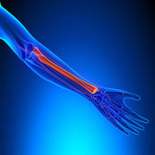 Radius Anatomy Bone with Ciculatory System — Stock Photo