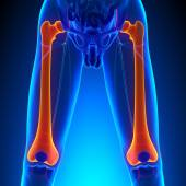 Femur Bone Anatomy with Circulatory System — Stock Photo