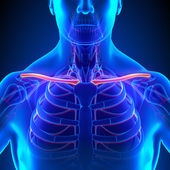 Clavicle Bone Anatomy with Circulatory System — Stock Photo