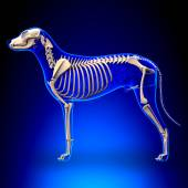 Dog Skeleton - Canis Lupus Familiaris Anatomy - side view — Stockfoto