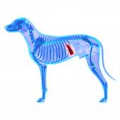 Dog Spleen - Canis Lupus Familiaris Anatomy - isolated on white — Stock Photo