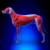 Dog Muscles Anatomy - Muscular System of the Dog — Stock Photo